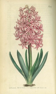 Thumbnail for the first (or only) page of Hyacinthus orientalis (Garden Hyacinth) - Plate 937.