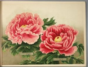 Thumbnail for the first (or only) page of Paeonia Moutan, a Collection of 50 Choice Varieties, Page 3.