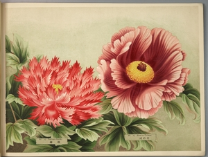 Thumbnail for the first (or only) page of Paeonia Moutan, a Collection of 50 Choice Varieties, Page 7.