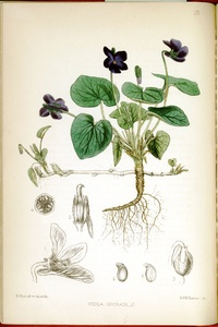 Thumbnail for the first (or only) page of Viola odorata - Plate 25.