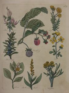 Thumbnail for the first (or only) page of Restharrow, Ragwort, Blackberry, Rosemary, Rue, Storax, Rattlesnake Root, Samphire - Plate 31.
