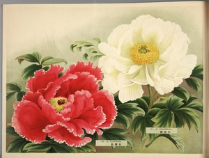 Thumbnail for the first (or only) page of Paeonia Moutan, a Collection of 50 Choice Varieties, Page 8.