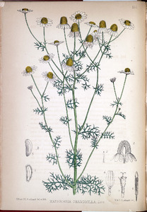Thumbnail for the first (or only) page of Matricaria Chamomilla - Plate 155.