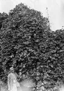 Thumbnail for the first (or only) page of This surely is the land of kudzu for one finds it almost everywhere. This picture was taken near [Gatunba?], Japan. Photograph #44113..