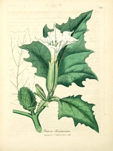 Thumbnail for the first (or only) page of Datura stramonium (Jimsonweed) - Plate 124.