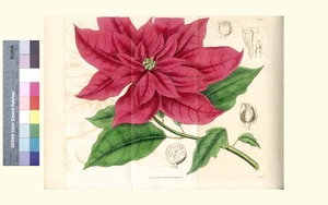 Thumbnail for the first (or only) page of Poinsettia pulcherrima (Showy Poinsettia) - Plate 3493.