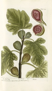 Thumbnail for the first (or only) page of Ficus (The Fig Tree) - Plate 125.