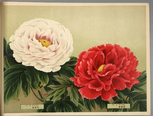 Thumbnail for the first (or only) page of Paeonia Moutan, a Collection of 50 Choice Varieties, Page 23.