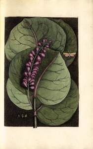 Thumbnail for the first (or only) page of Prunus maritimaracemosa, folio rotundo glabro; fructu minore purpureo. Hift. Jam. Vol. II. p. 129. (The Mangrove Grape Tree)&lt;br /&gt;<br />