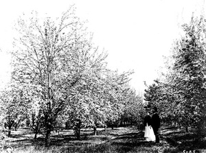 Thumbnail for the first (or only) page of Pear Orchard-Keiffer. Parry's Nursery, Parry, N.J. 1893. This is the first Keiffer pear orchard. It was planted by Wm. Parry from buds obtained by the original tree, 14 miles north of Philadelphia. Pollination experiments by Waite in this orchard in 1893..