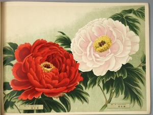 Thumbnail for the first (or only) page of Paeonia Moutan, a Collection of 50 Choice Varieties, Page 13.
