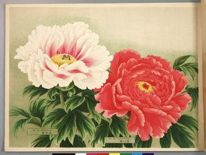 Thumbnail for the first (or only) page of Paeonia Moutan, a Collection of 50 Choice Varieties, Page 24.
