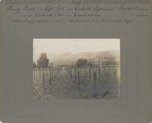 Thumbnail for the first (or only) page of Stand of young grafts of Herbemont in Experimental Vineyard.