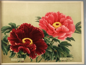 Thumbnail for the first (or only) page of Paeonia Moutan, a Collection of 50 Choice Varieties, Page 21.