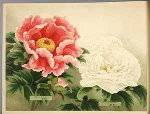 Thumbnail for the first (or only) page of Paeonia Moutan, a Collection of 50 Choice Varieties, Page 6.