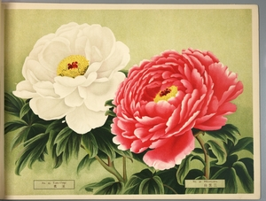 Thumbnail for the first (or only) page of Paeonia Moutan, a Collection of 50 Choice Varieties, Page 15.