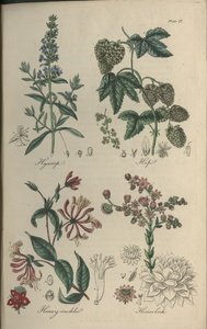 Thumbnail for the first (or only) page of Hyssop, Hop, Honey-suckle, Houselock - Plate27.