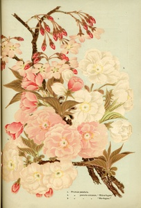 Thumbnail for the first (or only) page of The Yokohama Nursery Co., 1907, Page 37.