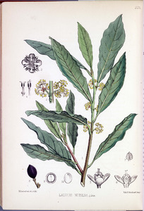 Thumbnail for the first (or only) page of Laurus nobilis - Plate 221.