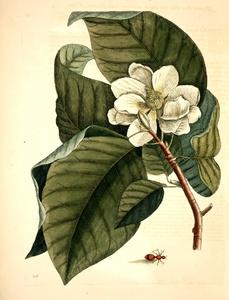 Thumbnail for the first (or only) page of Magnolia flore albo, folio majore acuminato haud albicante; Formica villosa coccinea: The Velvet Ant.