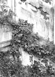 Thumbnail for the first (or only) page of Euonymus sp. Ming Tombs, China. [August] 22, 1930. A very interesting Euonymus growing naturally in one of the numerous corners made by the steps and three [promenade] walks about the building. This is extremely ornamental and attractive. This is at Chang Ling, Yung Lo's [Yongle's] Tomb, the 1st [ 3rd] Ming emperor. Photograph #45638..