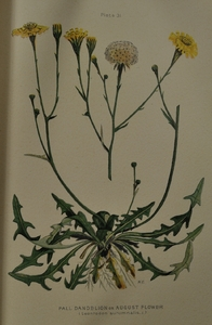Thumbnail for the first (or only) page of Leontodon autumnalis (Fall Dandelion) - Plate 31.