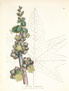 Thumbnail for the first (or only) page of Ricinus communis (Castorbean) - Plate 61.