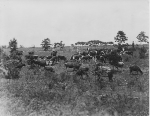 "Thumbnail for the first (or only) page of Photograph ""View of Herd of Cattle on Roosevelt Farm [Georgia]."