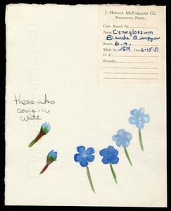 Thumbnail for the first (or only) page of <em>Cynoglossum amabile</em> (Balanche Burpee Chinese forget me not).