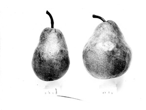Thumbnail for the first (or only) page of Pear-pollination. Bartlett. Hand self-pollinated Bartlett pear on the left. Hand cross-pollinated Bartlett pear on the right. From the Rochester series by Waite, 1892. One of the first natural size fruit photographs taken in the Department, a pioneer in the art which has done so much for agriculture..