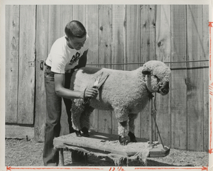 Thumbnail for the first (or only) page of 4-H member trimming sheep photo.
