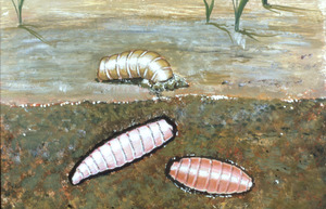 Thumbnail for the first (or only) page of Slide of pupae burrowing into ground.