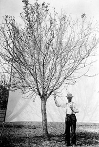 Thumbnail for the first (or only) page of Untreated almond tree in California defoliated by Cercospora, 1892..
