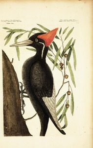Thumbnail for the first (or only) page of Picus Maximus rostro albo. (The largest white-bill Woodpecker).