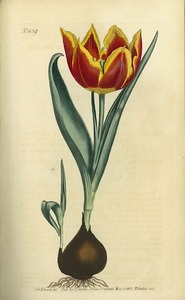 Thumbnail for the first (or only) page of Tulipa suaveolens  (Early Dwarf Tulip) - Plate 839.