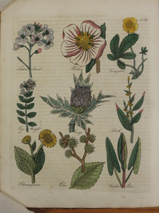 Thumbnail for the first (or only) page of Ladies' Smock, Hellebore, Cinquefoil, Eyebright, Eryngo, Dock, Elecampane, Elm, Cuckoo Point - Plate 30.