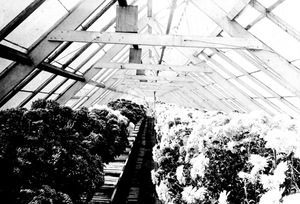 Thumbnail for the first (or only) page of Woods and Dorsett fertilizer experiments in a commercial greenhouse near Washington..