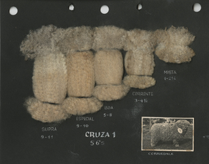 Thumbnail for the first (or only) page of Wool samples of a Corriedale sheep shown with a photograph of the animal .