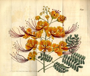 Thumbnail for the first (or only) page of Poinciana pulcherrima (Barbadoes Flower-Fence) - Plate 995.