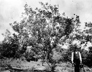 Thumbnail for the first (or only) page of Herbert J. Webber under a carob tree near Coconut Grove, Fla., about this time the Sub-Tropical Laboratory was started by Swingle and Webber..
