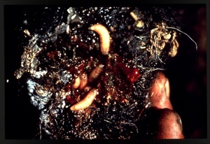 Thumbnail for the first (or only) page of Slide of infested wound with larvae.
