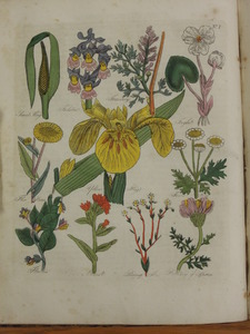 Thumbnail for the first (or only) page of Sweet Flag, Foolston, Fumitory, Frogbit, Fleabane, Yellow Flag, Feverfew, Fluellin, Alkanet, Purging Flax, Pellitory of Spain - Plate 1.