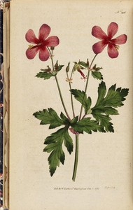 Thumbnail for the first (or only) page of Geranium anemonefolium (Anemone-Leav'd Geranium) - Plate 206.