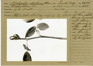 Thumbnail for the first (or only) page of Platynota stultana Wlsm. Rose bud showing injury by larva of this moth. Larva burrowed into stems at opening. Stem above this point is black and wilted..