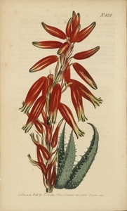 Thumbnail for the first (or only) page of Aloe humilis (Narrow-Leaved Stemless Aloe) - Plate 828.