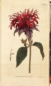 Thumbnail for the first (or only) page of Monarda fistulosa, var. (Crimson Monarda) - Plate 145.