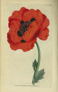Thumbnail for the first (or only) page of Papaver orientale (eastern Poppy) - Plate 57.
