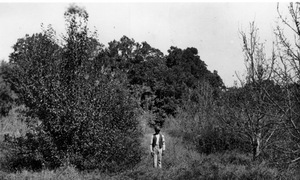 Thumbnail for the first (or only) page of Spraying experiments on Bartlett Pear orchard at Chestnut Farm, Scotland, Va., Oct. 1893. Sprayed trees on left, unsprayed on the right. Also, the orchard in which Waite made first discoveries of self-sterililty of pears and made extensive pollination tests..