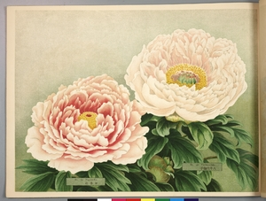 Thumbnail for the first (or only) page of Paeonia Moutan, a Collection of 50 Choice Varieties, Page 20.