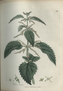 Thumbnail for the first (or only) page of Urtica dioica (Stinging Nettle) - Plate 146.